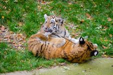 Free Siberian Tiger Cubs Royalty Free Stock Photos - 82894478
