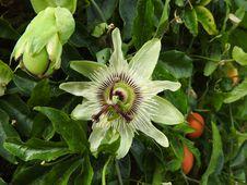 Free Passiflora Flower Stock Photo - 82895330
