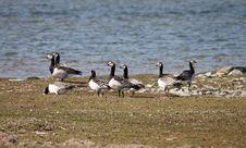 Free Barnacle Geese, Gotland. Stock Image - 82899261
