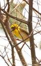 Free Weaver Bird Stock Image - 8294351