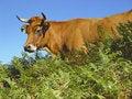 Free Cow In The Picos De Europa Stock Photo - 8298550