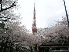 Free A Cherry Tree Of Tokyo Royalty Free Stock Photography - 8291397