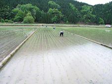 Free Rice-transplanting Royalty Free Stock Photography - 8291517