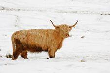 Highland Cow In The Snow Stock Photography