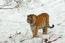 Tiger In The Snow Stock Photos
