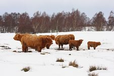 Free Highland Cow In The Snow Stock Photos - 8292513