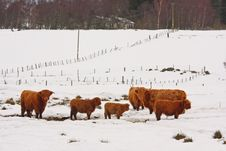 Free Highland Cow In The Snow Stock Photo - 8292520