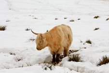 Free Highland Cow In The Snow Royalty Free Stock Photos - 8292558