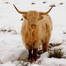Highland Cow In The Snow Royalty Free Stock Image