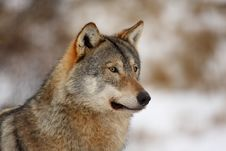 Free Wolf In The Snow Royalty Free Stock Photo - 8292665