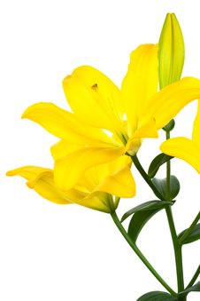 Free Yellow Lily Royalty Free Stock Photo - 8292695