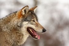 Free Wolf In The Snow Stock Photos - 8292743