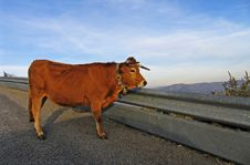 Free Cow Stock Photo - 8293150