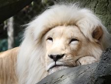 Free Resting White Lion Stock Image - 8293791