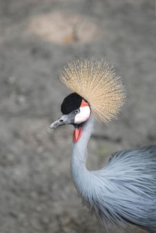 Free Grey Crowned Crane Royalty Free Stock Photography - 8294057