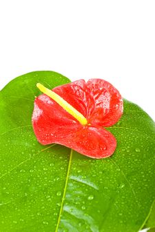 Free Anthurium Andreanum Isolated On White Background Stock Photography - 8294322