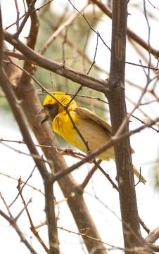 Free Weaver Bird Stock Image - 8294351