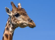 Free Bull Giraffe Royalty Free Stock Images - 8294689