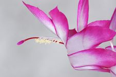 Free Zygocactus - Christmas Cactus Flower Stock Photos - 8295003