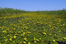 Free Wild Lotus Stock Image - 8295341