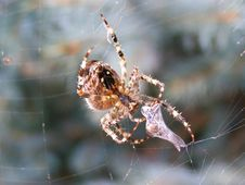 Free Spider Royalty Free Stock Image - 8295376