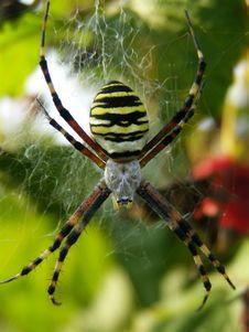 Free Spider Royalty Free Stock Photos - 8295398