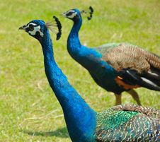 Free Two Peacocks Stock Photo - 8296610