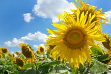 Free Beautiful Sunflowers On The Field On A Farm. Stock Images - 8296724