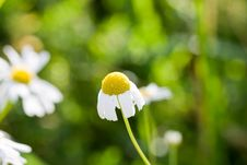 Free Chamomile Stock Photography - 8296802