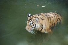 Free Tiger Royalty Free Stock Photo - 8297725