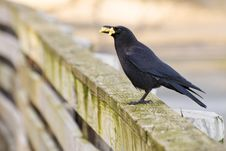 Free Hungry Crow Royalty Free Stock Image - 8297976