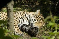 Free Sleeping Jaguar Royalty Free Stock Photo - 8298035