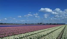 Free Fields With Flowering Hyacinths Stock Image - 8298201