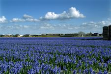 Free Field With Flowering Blue Hyacinths Royalty Free Stock Image - 8298236