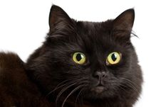 Free Portrait Of Cute Black Cat Isolated Royalty Free Stock Images - 8298279