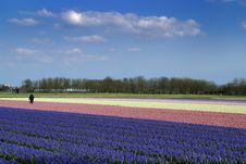 Free Man Working In A Field Of Flowering Hyacinths Stock Photography - 8298862