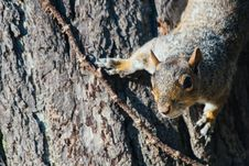 Free Squirrel On Tree Royalty Free Stock Images - 82911859