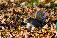 Free Grey Squirrel On Autumn Leaves Royalty Free Stock Images - 82911909