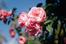 Free Pink Rose Flowers In Bloom Stock Photography - 82911992