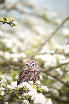 Free Owl In Blooming Tree Stock Images - 82913274