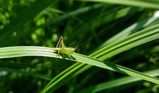 Free Green Grasshopper Perching On The Green Leaf Plant Stock Photography - 82930302