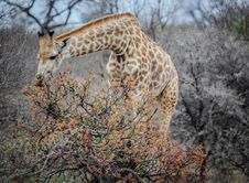 Free Giraffe Eating From Trees Royalty Free Stock Photos - 82930878