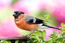 Free Orange And Grey Black Small Bick Bird Stock Image - 82930991