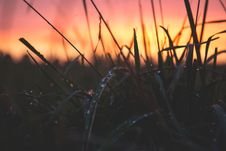 Free Grass With Water Drops During Sunset Stock Images - 82931244