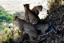 Free 4 Cheetahs Sitting And Lying During Daytine Royalty Free Stock Photography - 82931557