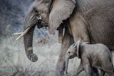 Free African Elephant With Calf Royalty Free Stock Image - 82931716