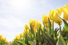Free Yellow Tulip Flower Field During Daytime Stock Photo - 82932070