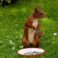 Free Brown And White Squirrel On Green Grass Royalty Free Stock Photo - 82932135