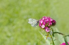 Free White Brown Butterfly Perched On Pink Flower Stock Image - 82932231