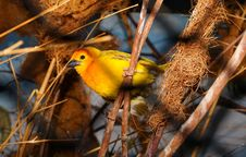 Free Closeup Photography Of Yellow Bird Perched Royalty Free Stock Photography - 82932997